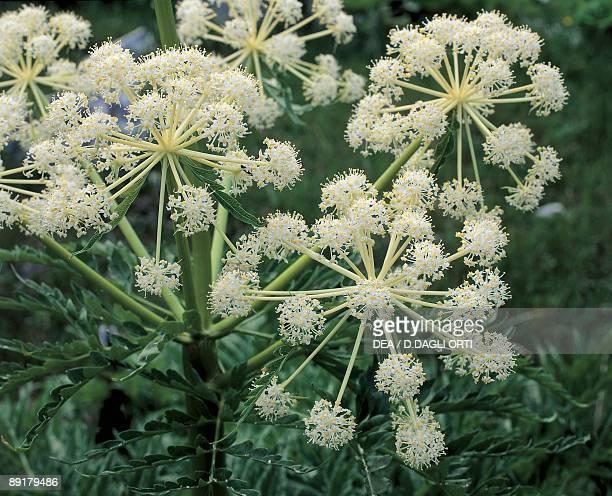 Closeup of flowers on Northern water hemlock plant