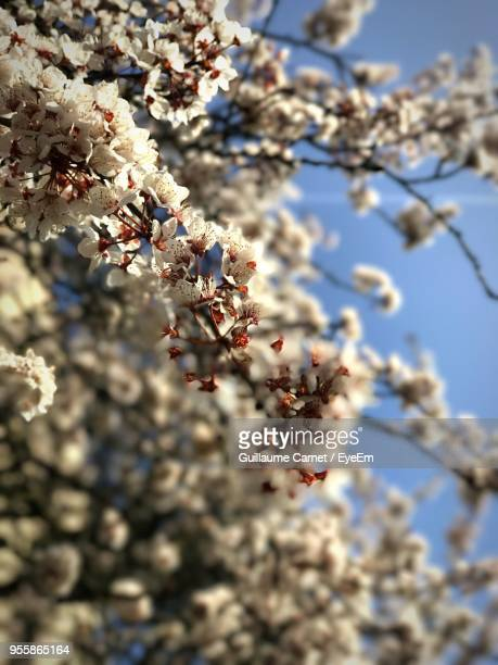 close-up of flowers on tree - carnet stock photos and pictures