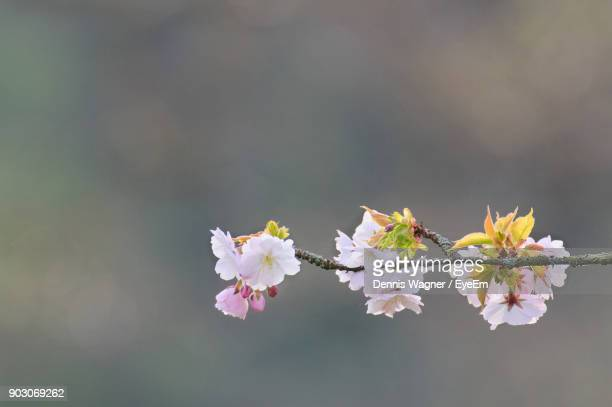 Close-Up Of Flowers On Twig
