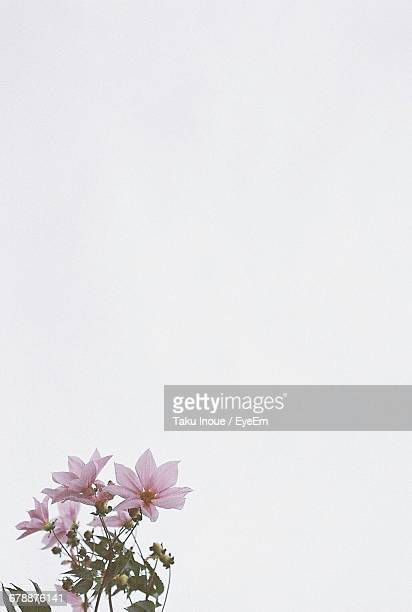 close-up of flowers - inoue stock photos and pictures