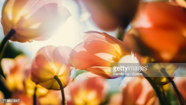 close-up of flowers - keukenhof gardens stock pictures, royalty-free photos & images
