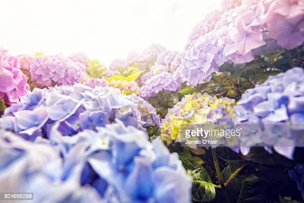 close-up of flowers - あじさい ストックフォトと画像
