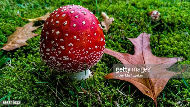 close-up of fly agaric mushroom on field - poisonous mushroom stock photos and pictures