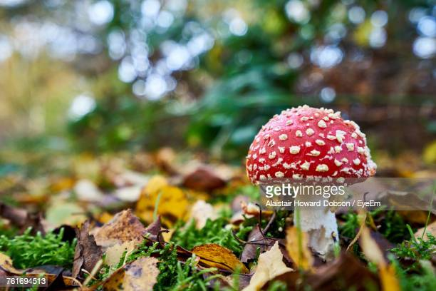 close-up of fly agaric mushroom - magic mushroom stock pictures, royalty-free photos & images