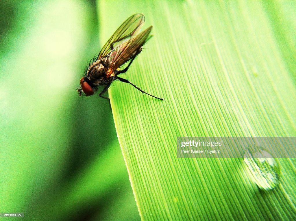Closeup Of Fly On Grass Blade With Water Drop Stock Photo Getty Images