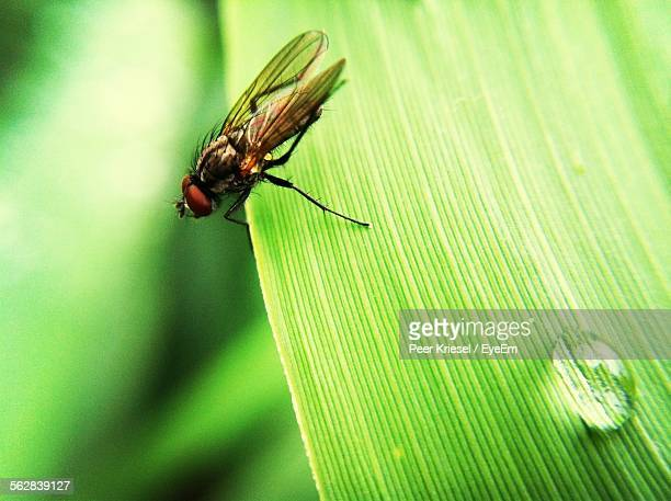 Close-Up Of Fly On Grass Blade With Water Drop