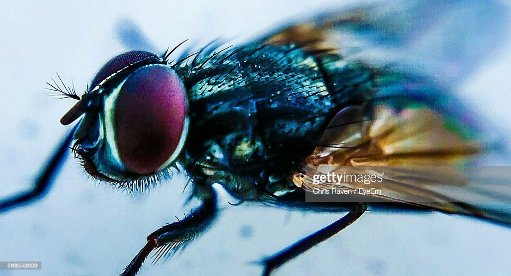 Close-Up Of Fly : Stock Photo