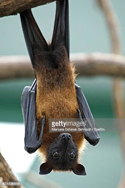 Close-Up Of Flying Fox Hanging From Branch