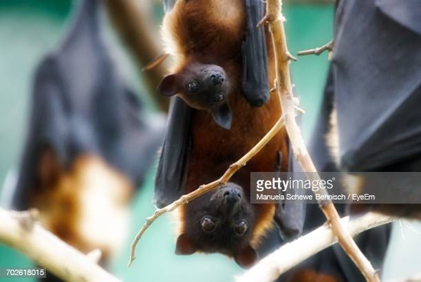 Close-Up Of Flying Foxes Hanging From Branch
