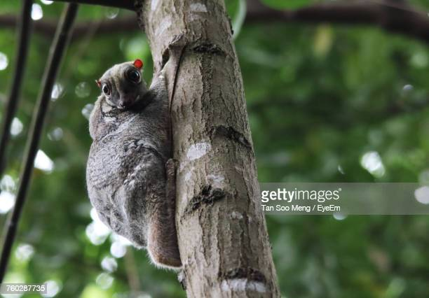 close-up of flying lemur on tree trunk - flying lemur stock pictures, royalty-free photos & images