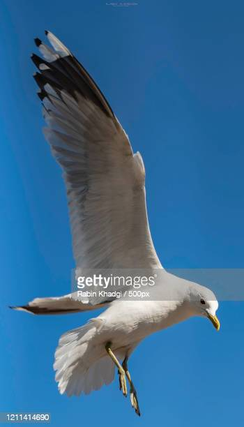 close-up of flying seagull - zeevogel stockfoto's en -beelden