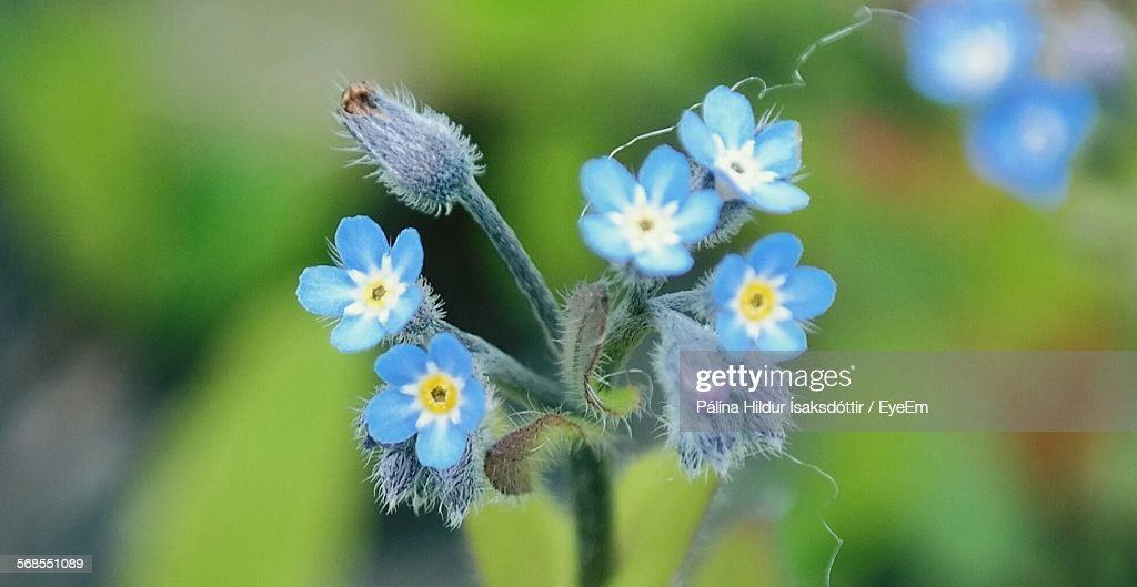 Close-Up Of Forget-Me-Not Flower Blooming Outdoors : Stock Photo