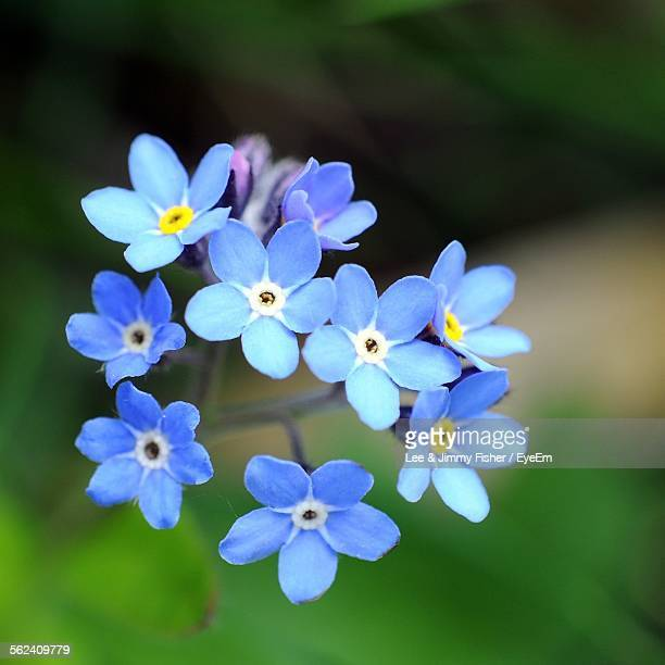 close-up of forget-me-nots blooming in park - forget me not stock pictures, royalty-free photos & images