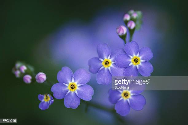 Close-up of forget-me-nots