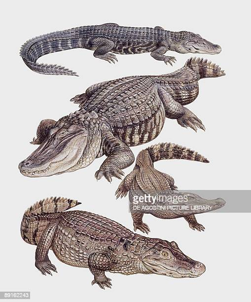 Closeup of four alligatoridae reptiles