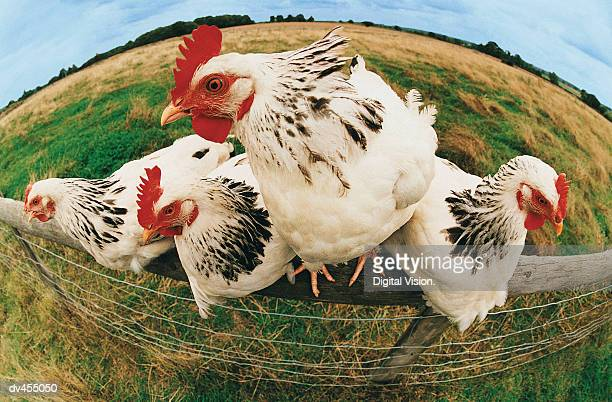 Close-up of Four Chickens on Fence