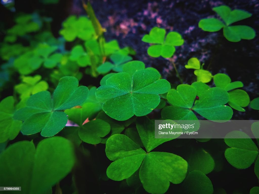 Close-Up Of Four Leaf Clovers On Field : Stock Photo