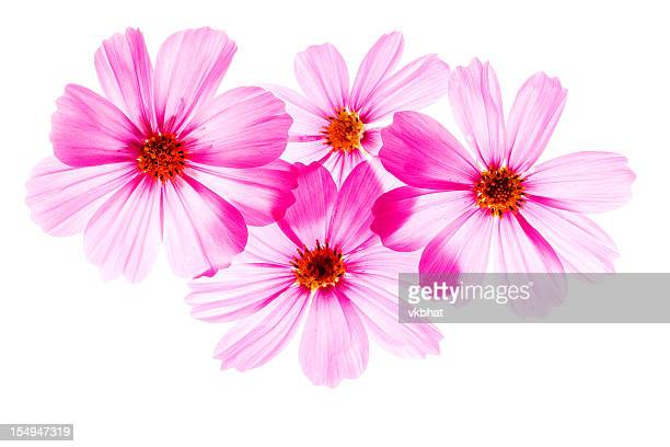 Close-up of four pink blossom flowers on a white background
