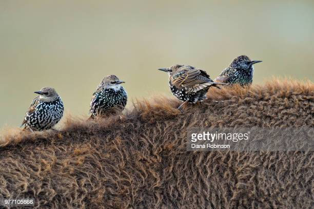 Close-up of four starlings on american bison's back, Grand Teton National Park, Wyoming, USA