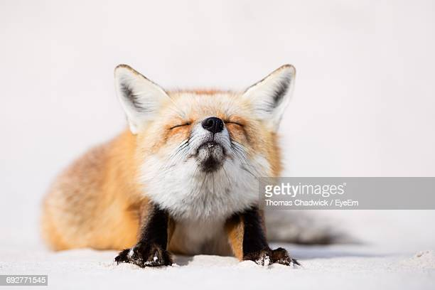 Close-Up Of Fox Against White Background