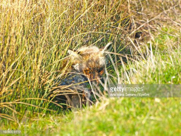 Close-Up Of Fox Amidst Grass On Field