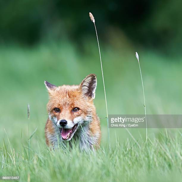 Close-Up Of Fox Hiding In Grass