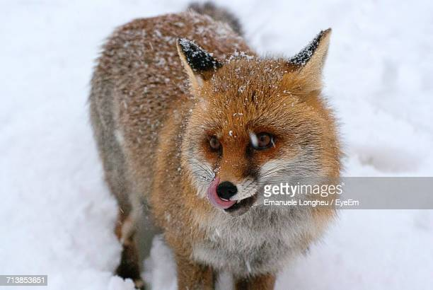 Close-Up Of Fox In Winter