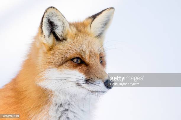 Close-Up Of Fox On Snow
