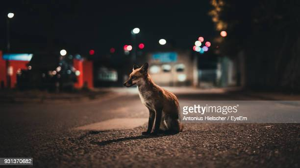 close-up of fox on street at night - fox stock pictures, royalty-free photos & images
