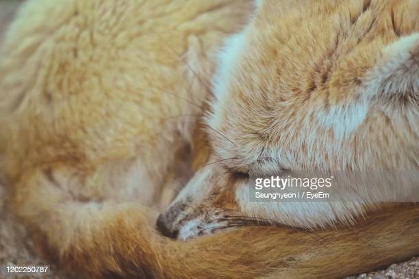 close-up of fox sleeping - fuchspfote stock-fotos und bilder