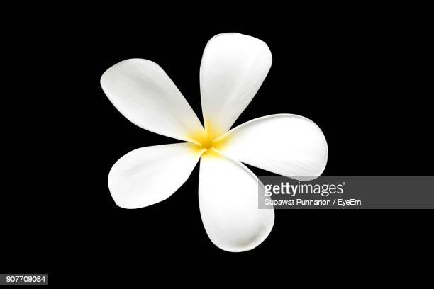 Close-Up Of Frangipani Against Black Background