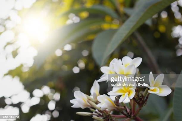 Close-Up Of Frangipani Blooming On Tree