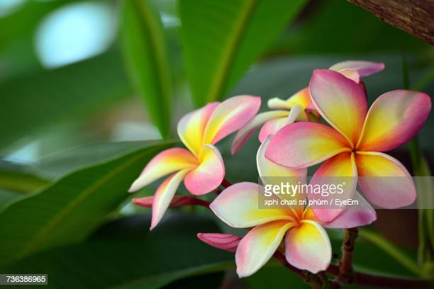 Close-Up Of Frangipani Blooming Outdoors