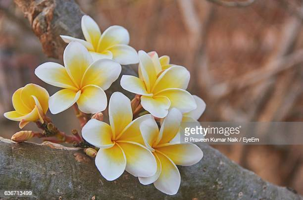 Close-Up Of Frangipani Growing On Tree