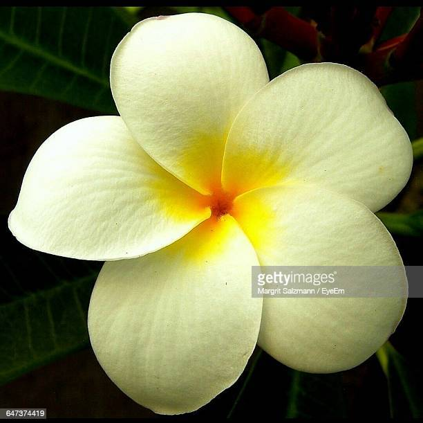 Close-Up Of Frangipani Growing Outdoors