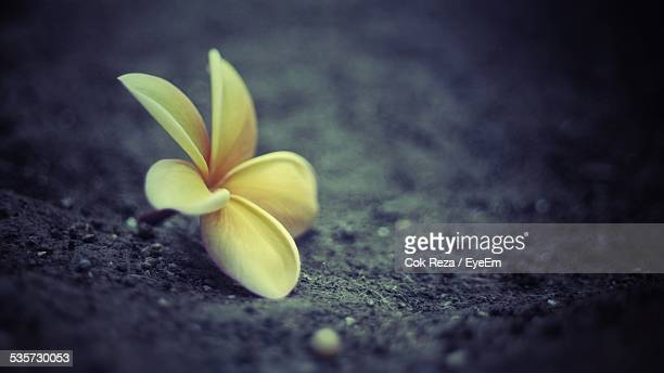 Close-Up Of Frangipani On Ground