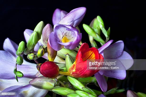 Close-Up Of Freesia Flowers Against Black Background