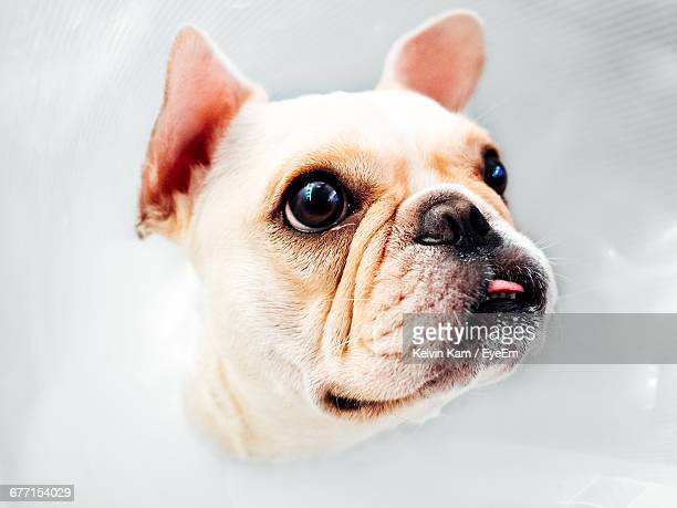 Close-Up Of French Bulldog Against White Background