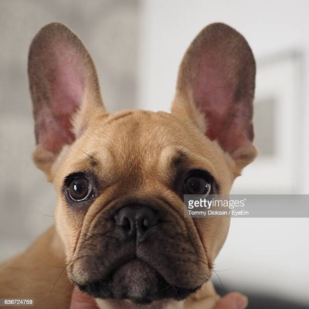 Close-Up Of French Bulldog At Home