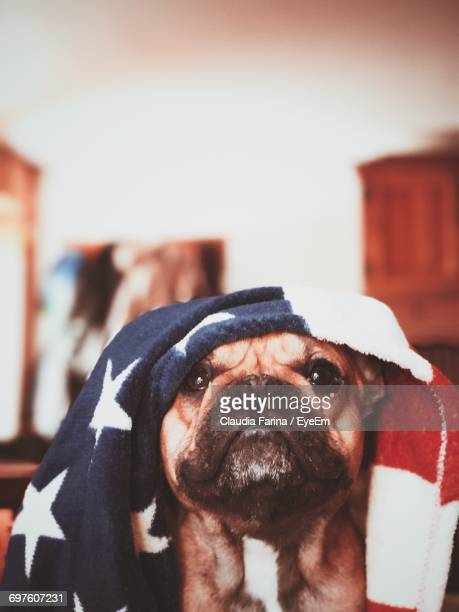 Close-Up Of French Bulldog Covered With American Flag Towel