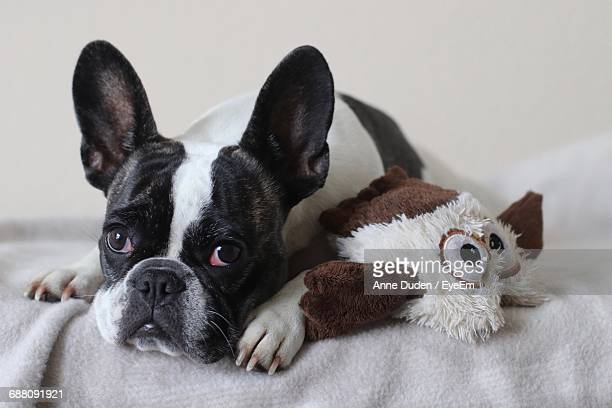 close-up of french bulldog - bulldog frances imagens e fotografias de stock