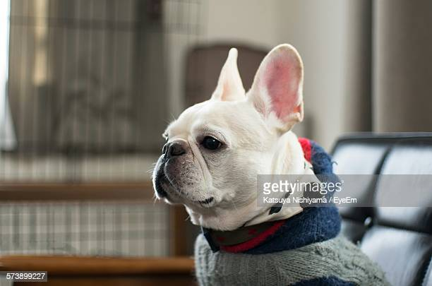 Close-Up Of French Bulldog Sitting At Home