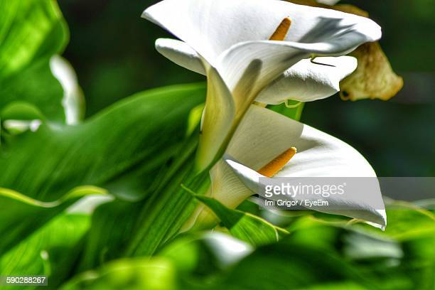 Close Up Of Fresh Calla Lily Flowers Blooming In Garden
