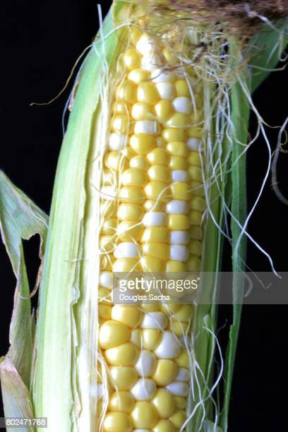 Close-up of Fresh Corn on a black background (zea mays)