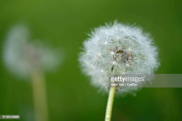 Close-Up Of Fresh Dandelion