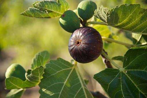 Close-Up Of Fresh Fig On Tree - gettyimageskorea