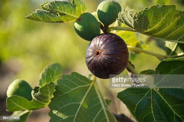 close-up of fresh fig on tree - fig tree stock pictures, royalty-free photos & images