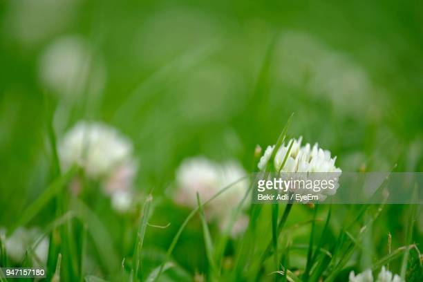 Close-Up Of Fresh Flowers Blooming In Field