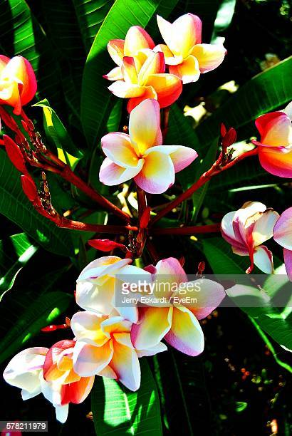Close-Up Of Fresh Frangipani Blooming In Garden