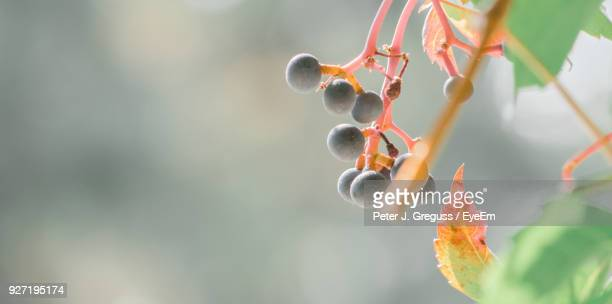 Close-Up Of Fresh Fruits Growing On Branch